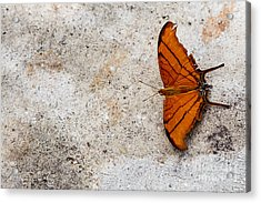 The Elusive Butterfly  Acrylic Print by Rene Triay Photography