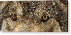Acrylic Print featuring the photograph The Eyes Of The Wolf  by Brian Cross