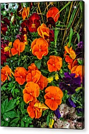 Fall Pansies Acrylic Print