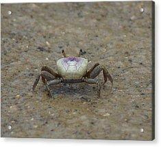 The Fiddler Crab On Hilton Head Island Acrylic Print