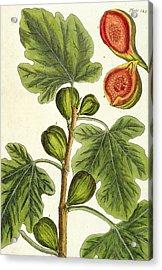 The Fig Tree Acrylic Print by Elizabeth Blackwell