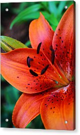 The First Lily Acrylic Print