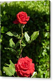 Acrylic Print featuring the photograph The First Rose by Janina  Suuronen