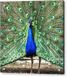 The Flirty Peacock Acrylic Print