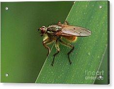 The Fly ? Acrylic Print
