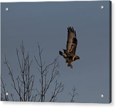 The Flying Hawk Acrylic Print by Rhonda Humphreys
