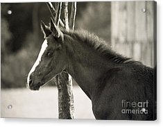 The Foal Acrylic Print by Angel Ciesniarska
