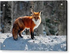 The Fox 3 Acrylic Print