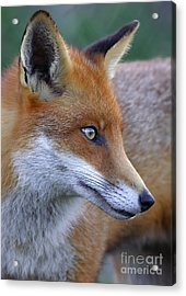 The Fox Acrylic Print