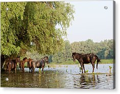 The Free Roaming Horses Of Maliuc Acrylic Print by Martin Zwick