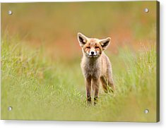 The Funny Fox Kit Acrylic Print by Roeselien Raimond