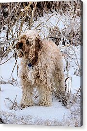 The Fur Coat Acrylic Print by JC Findley
