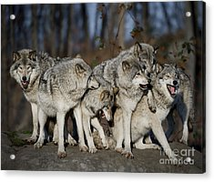 Acrylic Print featuring the photograph The Gang by Wolves Only