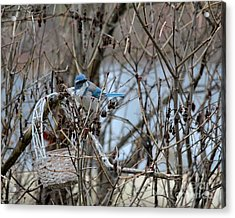 Acrylic Print featuring the photograph The Gathering Blue Jay by Marjorie Imbeau