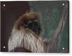 The Gibbon Acrylic Print by Ernie Echols