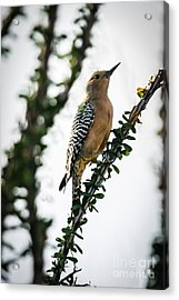 The Gila  Woodpecker Acrylic Print by Robert Bales
