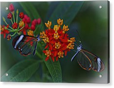 The Glasswinged Butterfly Acrylic Print
