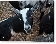 Acrylic Print featuring the photograph The Goat With The Gorgeous Eyes by Verana Stark