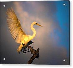 The Golden Egret Acrylic Print