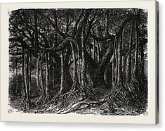 The Great Banyan, Or Sacred Tree Acrylic Print by Indian School