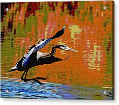 The Great Blue Heron Jumps To Flight Acrylic Print by Tom Janca
