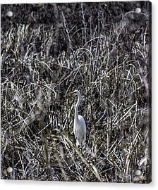 The Great Egret Acrylic Print by Kris Rowlands