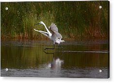 Acrylic Print featuring the photograph The Great Egret by Leticia Latocki