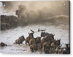 Acrylic Print featuring the photograph The Great Migration  by Chris Scroggins