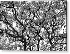 The Great Oak In Black And White Acrylic Print