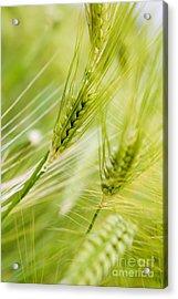 The Green Rye Beautiful Acrylic Print by Boon Mee