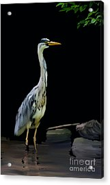 The Grey Heron Acrylic Print