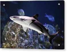 The Grey Reef Shark - Carcharhinus Amblyrhynchos Acrylic Print
