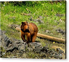 The Grizzly Acrylic Print by Robert Bales