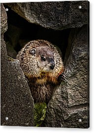 The Groundhog Acrylic Print by Bob Orsillo