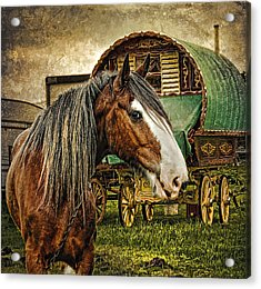 The Gypsy Vanner Acrylic Print by Brian Tarr