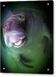 The Happy Manatee Acrylic Print