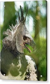 The Harpy Eagle (harpia Harpyja Acrylic Print