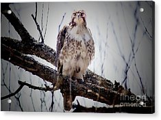 The Hawk Acrylic Print