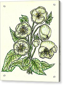 Acrylic Print featuring the drawing The Helleborous by VLee Watson