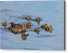 The Hen And Brood Of Young Mallard Acrylic Print