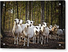 The Herd Acrylic Print by Swift Family