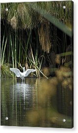 Acrylic Print featuring the photograph The Heron Has Landed by Kevin Bergen