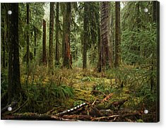 The Hoh Rainforest Acrylic Print