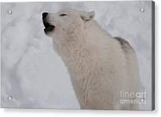 Acrylic Print featuring the photograph The Howler by Bianca Nadeau