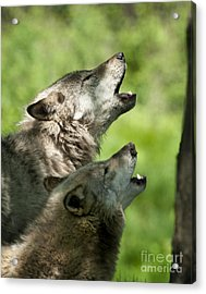 Acrylic Print featuring the photograph The Howling by Wolves Only