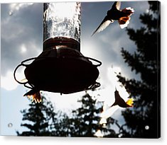 The Hummer's Dance Acrylic Print by Cherie Haines