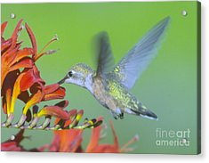 The Humming Bird Sips  Acrylic Print by Jeff Swan