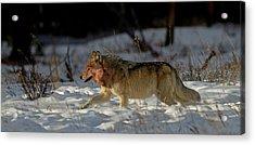 The Hunt Acrylic Print by Sandy Sisti