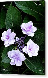 The Hydrangea / Flowers Acrylic Print by James C Thomas