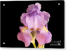 The Iris In All Her Glory Acrylic Print by Andee Design
